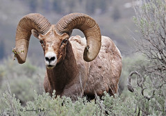 Bighorn Sheep - 6938bsg (teagden) Tags: park spring sheep may national yellowstone bighorn ram ynp 2011 yellowstonepark