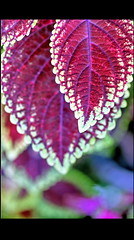 Coleus leaves (sasithorn_s) Tags: friends plant macro nature colors leaves garden coleus supershot flickrdiamond overtheexcellence mygearandme esenciadelanaturaleza ringexcellence