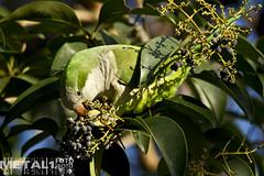 Parakeet (sokolskij) Tags: canon eos alien parrot parakeet invasive xeno 鹦鹉 papagai myiopsittamonachus 앵무새 kenko2x 30028 попугай canonef300mmf28lisusm ef300f28 ef30028 eos1dmarkiv 1dmk4 eos1dmk4 pro300dgx
