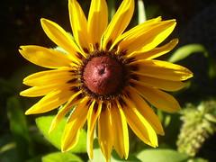 sun (vendy2007) Tags: sun flower yellow bloom sonne naturesfinest kvet květ totalphoto supertotalphoto