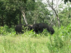 Wild Elephants by the side of the road (chatts) Tags: india canon kerala wanderlust bullet karnataka lifeisgood tamilnadu royalenfield nilgiris chatts bandipur wyanad