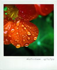 Nasturtium  10/15/2007 (harleyrebel) Tags: orange flower macro green water yellow polaroid post drop dew droplet process nasturtium diamondclassphotographer flickrdiamond