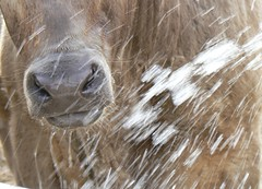 Having a shower (JanBran) Tags: playing water cows australia calf southaustralia flickrdiamond aroundourplace