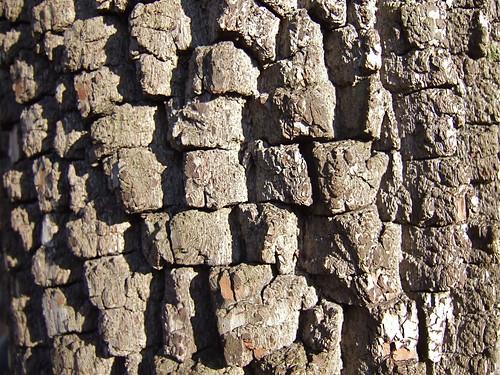 Persimmon bark (Diospyros virginiana)