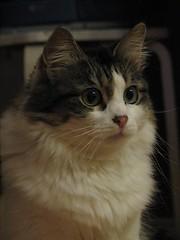 Minni (Liisaz88) Tags: portrait cats cute cat eyes kissablekat catmoments