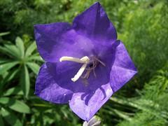 Campanules (opaline82) Tags: flower fleur campanule