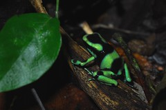 Black and Green Dart Frog (Michael Graupe) Tags: costa green rainforest rica frog dart dendrobates dominical haciendabaru auratus