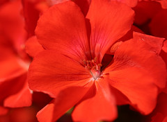 Red Geranium 天竺葵 (olvwu | 莫方) Tags: red usa flower macro ga georgia spring savannah geranium redflower jungpangwu oliverwu oliverjpwu redgeranium olvwu colourartaward jungpang 莫方 吳榮邦