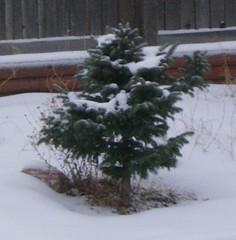 Little Tree in Snow