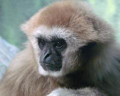 White-Handed Gibbon (njchow82) Tags: portrait canada calgary nature animal zoo bokeh wildlife alberta ape primate potofgold animalportrait macrp whitehandedgibbon animaladdiction incrediblenature itsazoooutthere zoosofnorthamerica flickrlovers njchow82