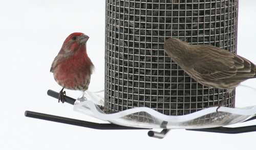 house finch with seed 3