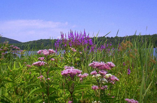 Purple Loosestrife1