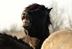 (Astrid van Wesenbeeck photography) Tags: horses netherlands animals wildlife stallions wildhorses paarden behaviour oostvaardersplassen konikhorses koniks konikpaarden
