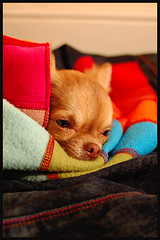 The Snuggler 16/366 (Natures Optimist) Tags: dog brown chihuahua nose eyes long chocolate tan denim pup roxy haired scarfe