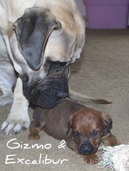 Gizmo & Excalibur (muslovedogs) Tags: dogs puppy mastiff rottweiler excalibur zeusoffspring myladyoffspring