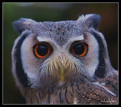 White Faced Scops Owl (judder1952) Tags: fab nature owl soe picnik naturesfinest blueribbonwinner goldenmix mywinners abigfave avianexcellence diamondclassphotographer megashot ilovemypic theunforgettablepictures overtheexcellence excapture picturef