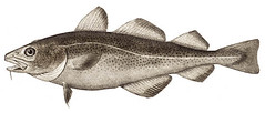 Atlantic Cod (photo from Wikipedia)
