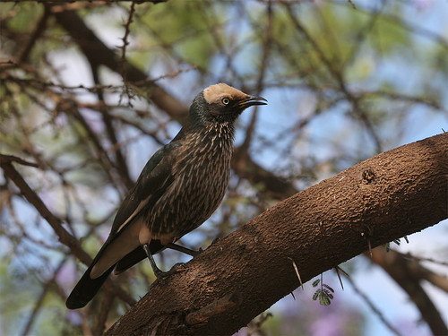 White-crowned Starling