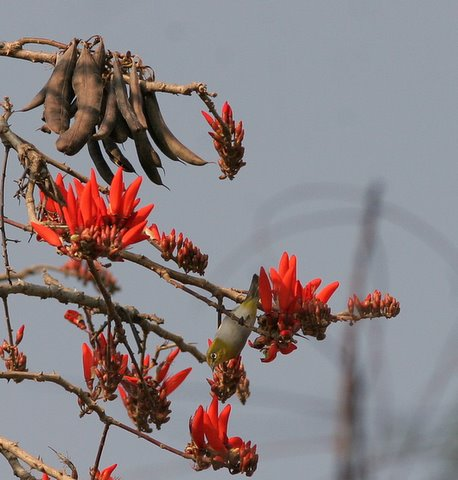 white eye in coral tree