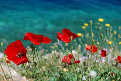 Red, red poppies (elenikiokia) Tags: blue sea nature easter island greek greece poppies vacations hydra themoulinrouge naturesfinest blueribbonwinner ydra golddragon abigfave anawesomeshot diamondclassphotographer goldstaraward theperfectphotoghapher multimegashot awesomeblossoms