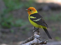 Western Tanager (idahobirder) Tags: bird us unitedstates idaho northamerica tanager westerntanager pirangaludoviciana vosplusbellesphotos