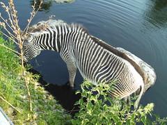 zebra (simon mes) Tags: zebra artis water bad sterdam