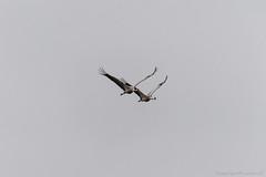 Arjuzanx Grues_4919 (lucbarre) Tags: arjuzanx grue grues migration oiseau oiseaux migrateur migrateurs observatoire bedade