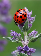 Ladybird (V Photography and Art) Tags: park red flower macro bug insect kent purple ngc lilac ladybird ladybug kelsey bubamara colorphotoaward canon450d mygearandme mygearandmepremium mygearandmebronze artistoftheyearlevel3 artistoftheyearlevel4 verastevens veeste artistoftheyearlevel5