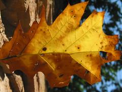 Oak leaf and smile :-)