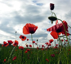 Try to remember! (Linda6769 (OFF)) Tags: sky cloud flower germany thringen village meadow wolke thuringia poppy but blume wildflower cloudysky wolkig mohn mohnblume thuringian mohnkapsel wildblume seedvessel brden bewlkterhimmel picturewithmusic poppyseedvessel