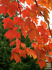 Fall Foliage_3 (catface3) Tags: red orange tree green fall nature leaves foliage evergreen catface3