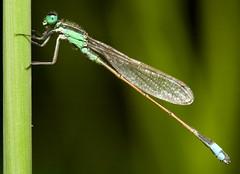 |\ (olvwu | 莫方) Tags: usa macro grass canon ga georgia dragonfly 100mm savannah jungpangwu oliverwu oliverjpwu canonef100mmmacrof28usmlens olvwu anawesomeshot excapturemacro jungpang 莫方 吳榮邦
