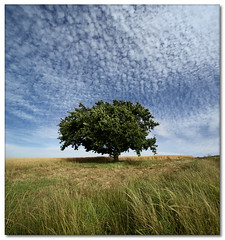 Oak Tree (Vertorama) (Panorama Paul) Tags: searchthebest oaktree durbanville polaris crazyclouds naturescall supershot nohdr golddragon anawesomeshot impressedbeauty treesubject vertorama treeofhonor