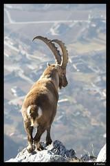 Le roi des cmes (Capra ibex) (biollaz) Tags: mountain alps montagne alpes mammal switzerland suisse wallis valais mammifre ibex ardon capra bouquetin chamoson specanimal mywinners abigfave