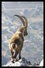 Le roi des cîmes (Capra ibex) (biollaz) Tags: mountain alps montagne alpes mammal switzerland suisse wallis valais mammifère ibex ardon capra bouquetin chamoson specanimal mywinners abigfave