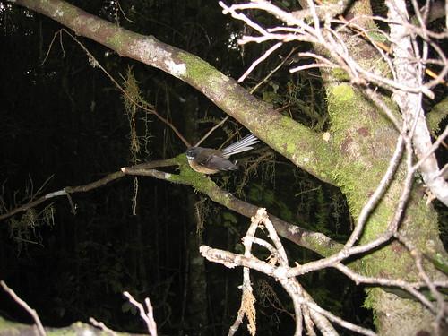 Fantail near Lake Manapouri