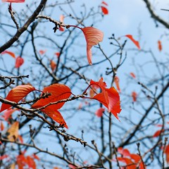 Autumn Bloom () Tags: winter red leaves japan tokyo leaf bokeh odaiba autuum bokehlicious