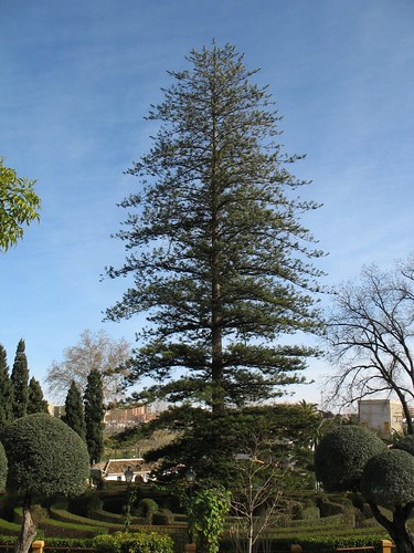 Large Norfolk Pine tree