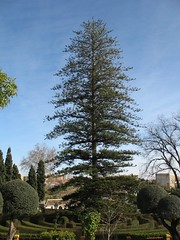 Large Norfolk Pine tree
