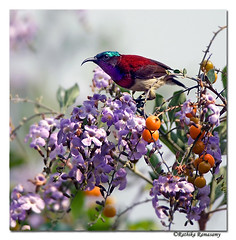 Crimson-backed Sunbird (Rathika Ramasamy) Tags: india birds kerala endemic westernghats munnar naturesfinest nikond2x crimsonbackedsunbird indiabirds specanimal ibeauty nikkorafsnikkor300mmf4dedif
