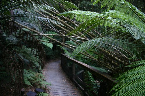 Nelson Falls Forest Walk, Central Tasmania.