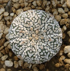 Astrophytum asterias superkabuto (BOTANICA EXOTICA) Tags: astrophytum asterias superkabuto asteriassuperkabuto