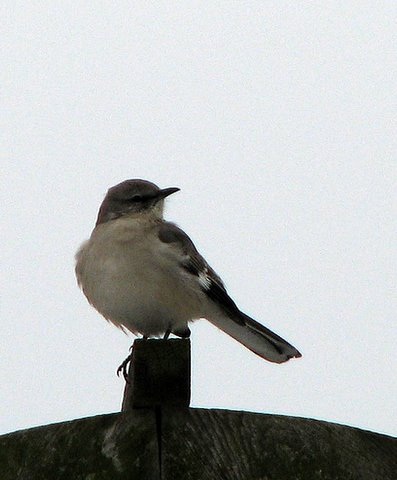 northern mockingbird enright ave