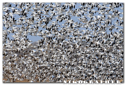 (A ton of) Snow Geese @ Blackwater National Wildlife Refuge, Maryland (3 pix)