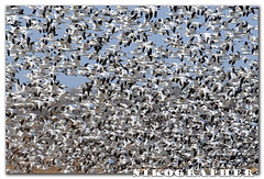 (A ton of) Snow Geese @ Blackwater National Wildlife Refuge, Maryland (3 pix) (Nikographer [Jon]) Tags: animal animals lenstagged md nikon wildlife maryland easternshore national february feb nikkor blackwater 2008 refuge nationalwildliferefuge snowgeese nwr d300 snowgoose 80400mmf4556dvr marylandseasternshore blackwaterrefuge blackwaternationalwildliferefuge bnwr nikond300 20080209d30011752 jss20081