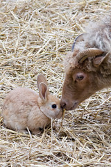 Tenderness (ksvrbrg) Tags: rabbit sheep konijn schaap