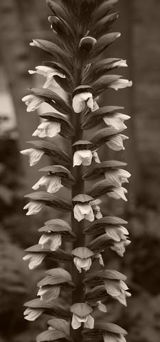 Flores en Sepia