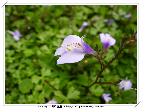 R0013262通泉草