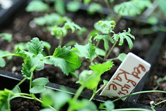 kale sprouts