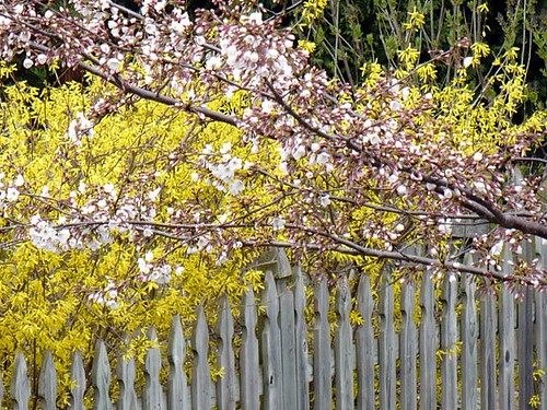 cherry and forsythia